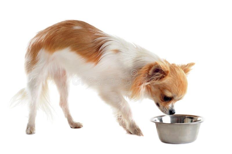 Chihuahua van het puppy en voedselkom royalty-vrije stock afbeelding
