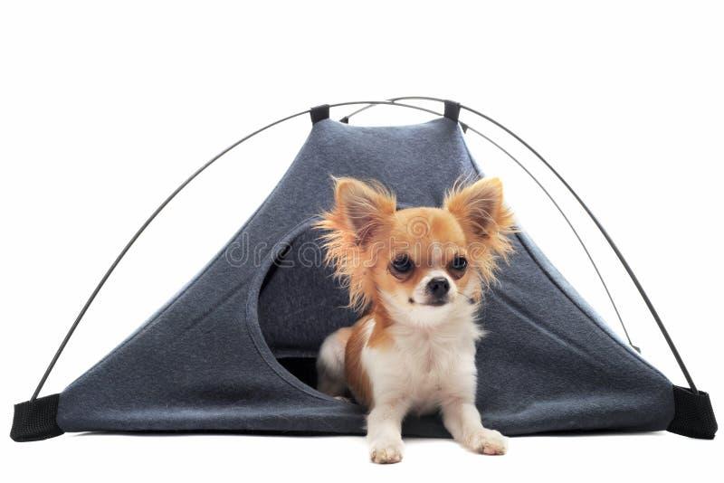 Chihuahua van het puppy in kamptent royalty-vrije stock afbeelding