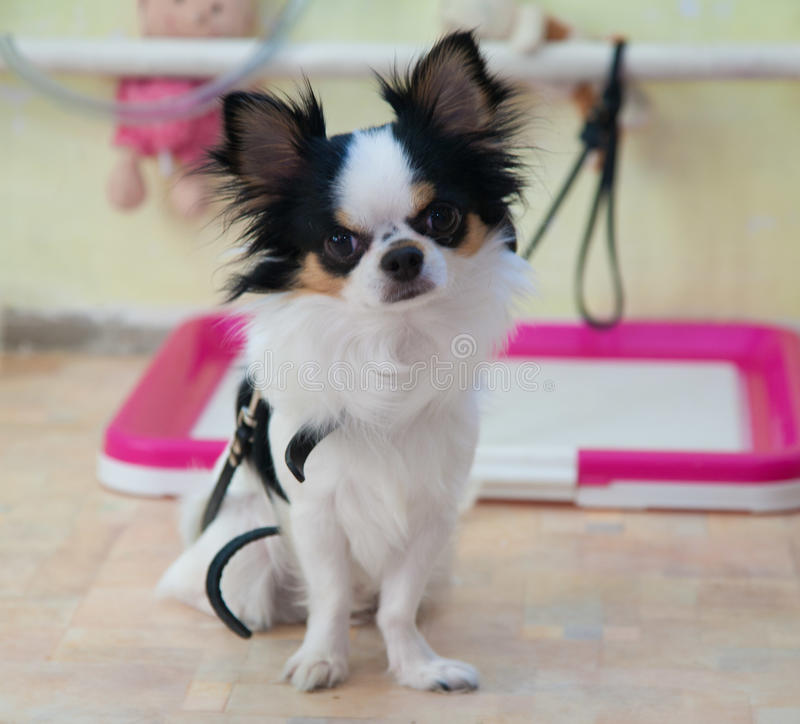 Chihuahua verfolgen drei-farbiges stockfoto