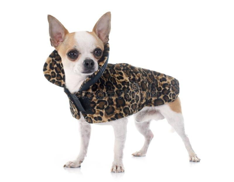 Chihuahua vestida fotografia de stock royalty free