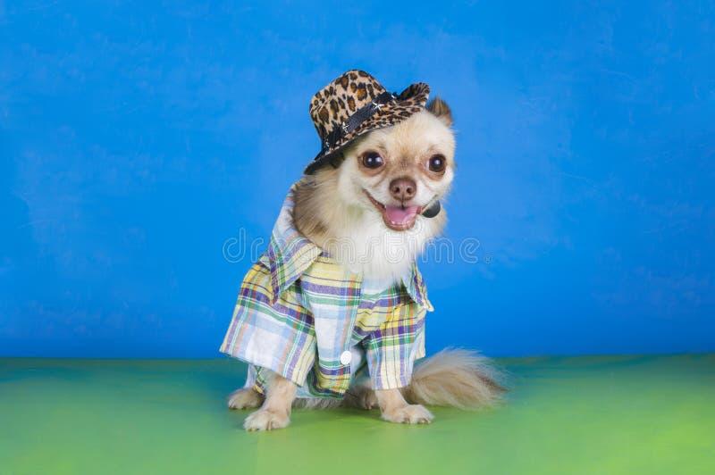 Chihuahua vestida como um vaqueiro imagens de stock royalty free