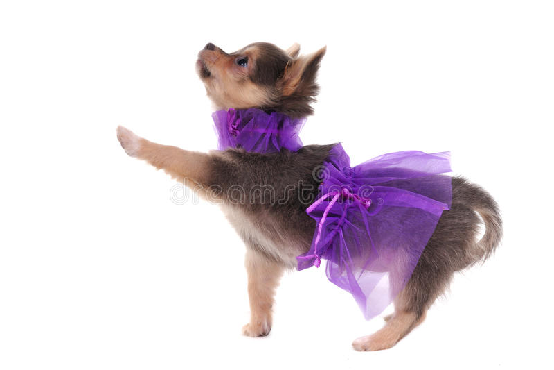 Chihuahua vestida divertida foto de archivo
