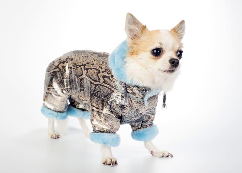 Chihuahua vestida en capa del invierno del brocado del oro imagenes de archivo