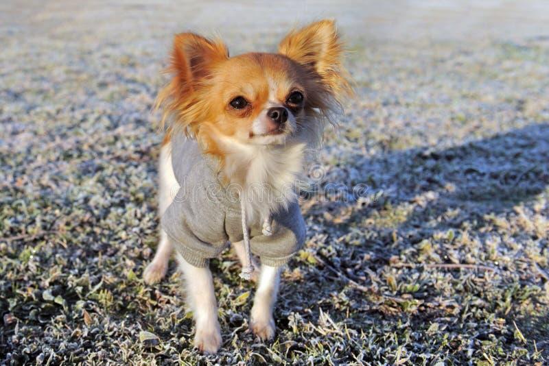 Chihuahua vestida no inverno imagens de stock