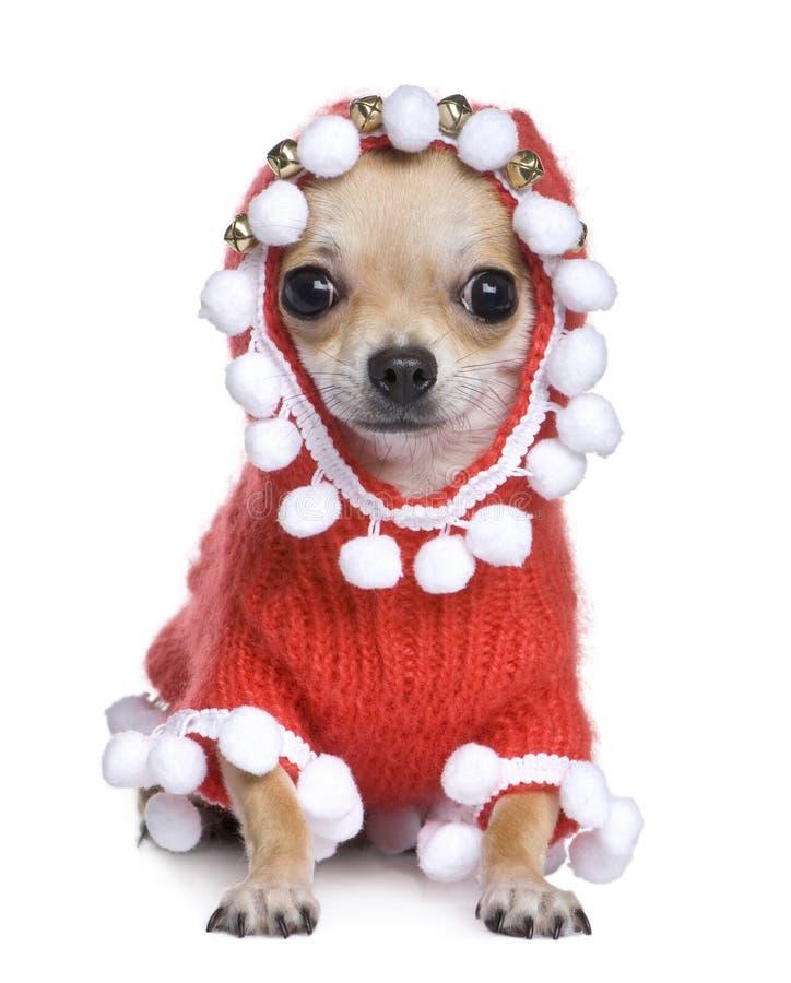 Chihuahua vestita come crhistmas del padre fotografie stock libere da diritti