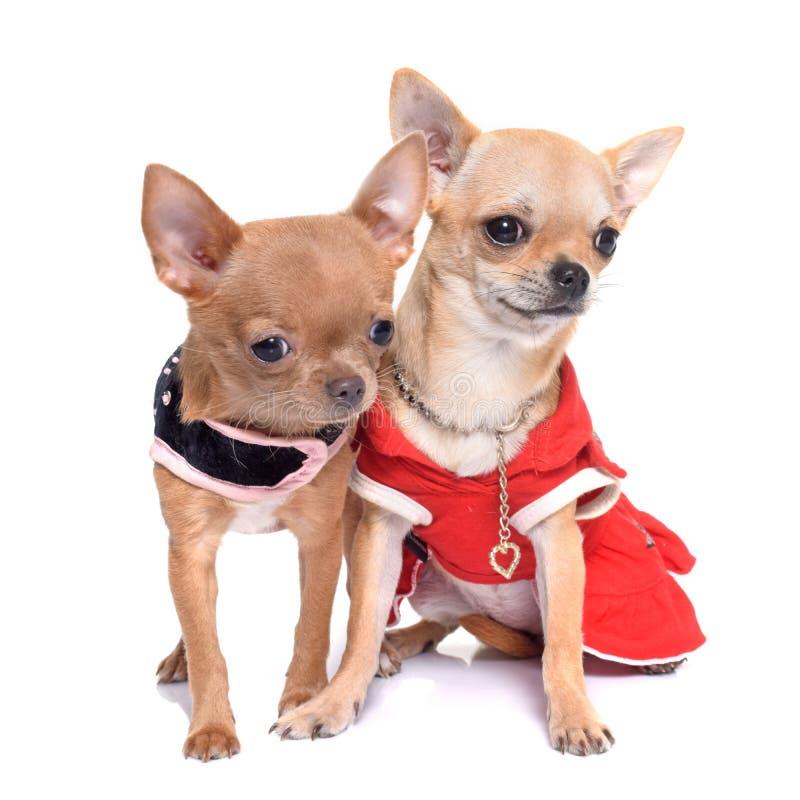 Chihuahua vestita dei cuccioli immagine stock libera da diritti