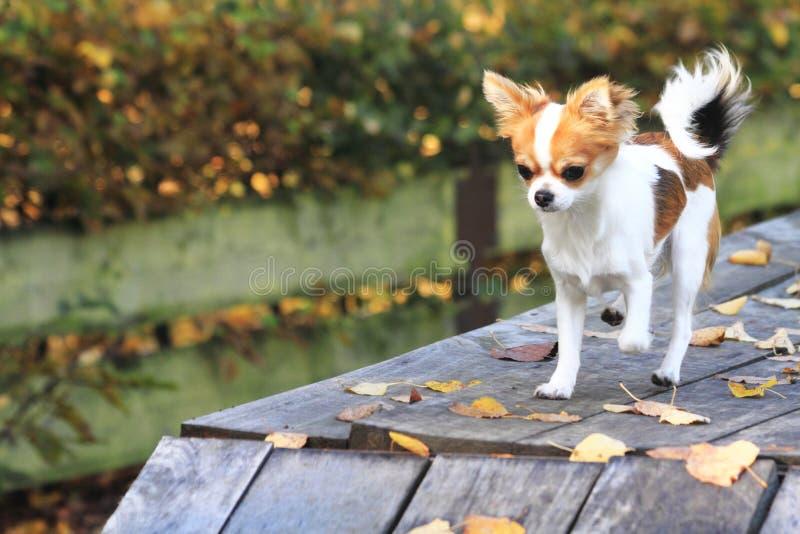 chihuahua w psim parku zdjęcia royalty free