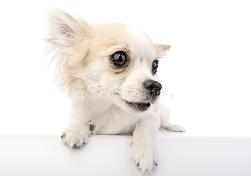 chihuahua wargi śliczne psie rozdzielać portret zdjęcia stock
