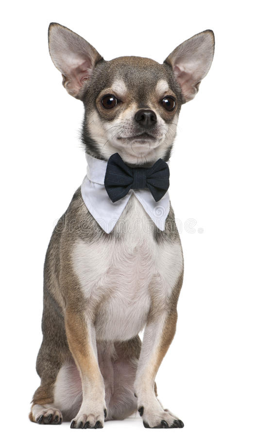 Free Chihuahua Wearing Bowtie, 3 Years Old, Sitting Royalty Free Stock Photo - 17597725