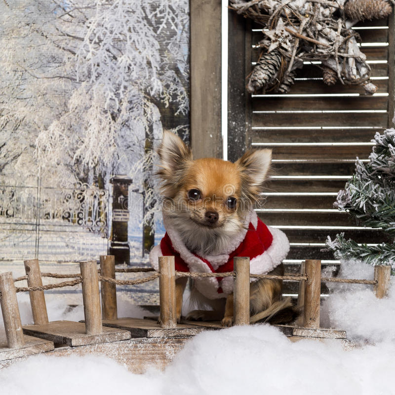Chihuahua wearing a christmas cape stock images
