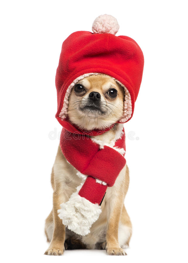 Chihuahua wearing christmas hat and scarf, sitting royalty free stock photo