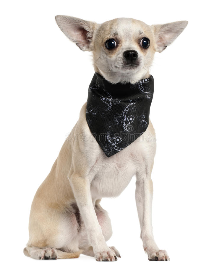 Download Chihuahua Wearing Handkerchief, 8 Months Old Stock Image - Image: 20378867
