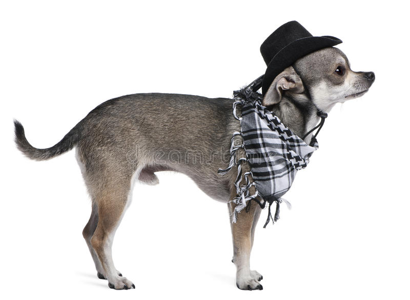 Download Chihuahua wearing a hat stock photo. Image of dressed - 16408876