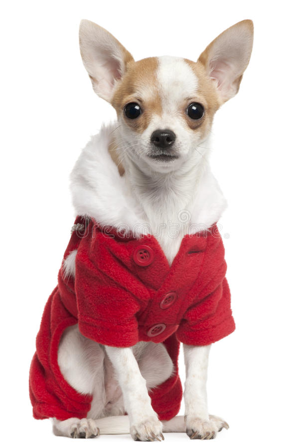 Download Chihuahua Wearing Santa Outfit, 2 And A Half Royalty Free Stock Photos - Image: 17598348