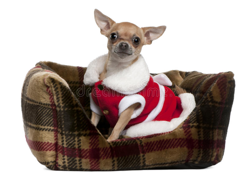 Download Chihuahua Wearing Santa Outfit, 25 Months Old Stock Image - Image: 17597641