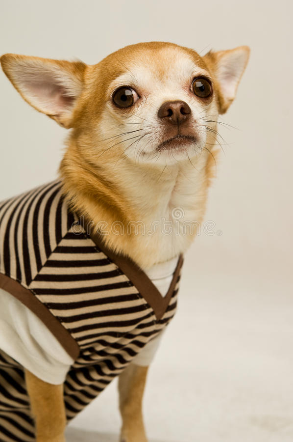 Chihuahua wearing a stripey sweater-vest