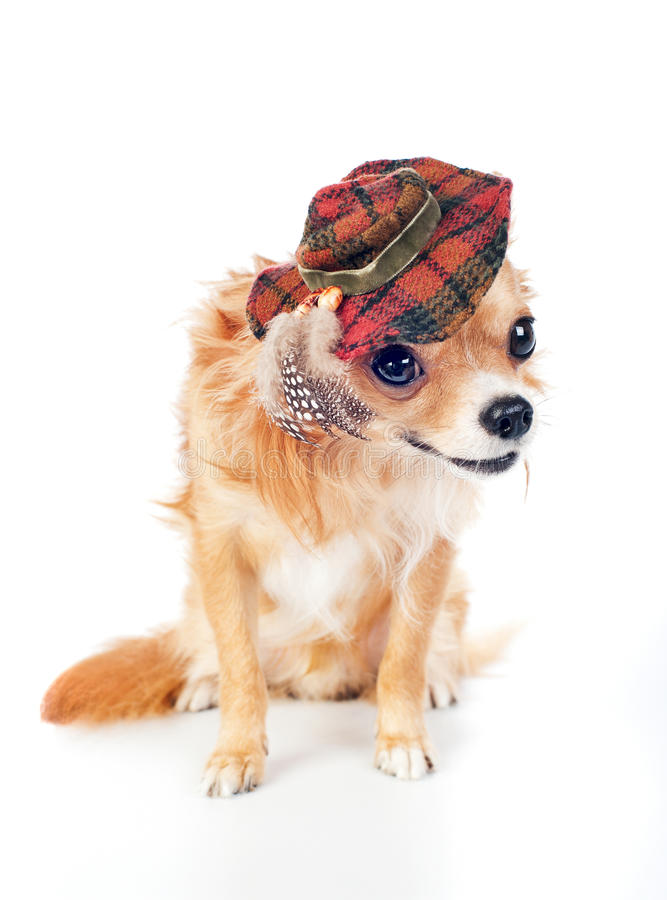 Chihuahua wearing in tartan hat with feathers stock images