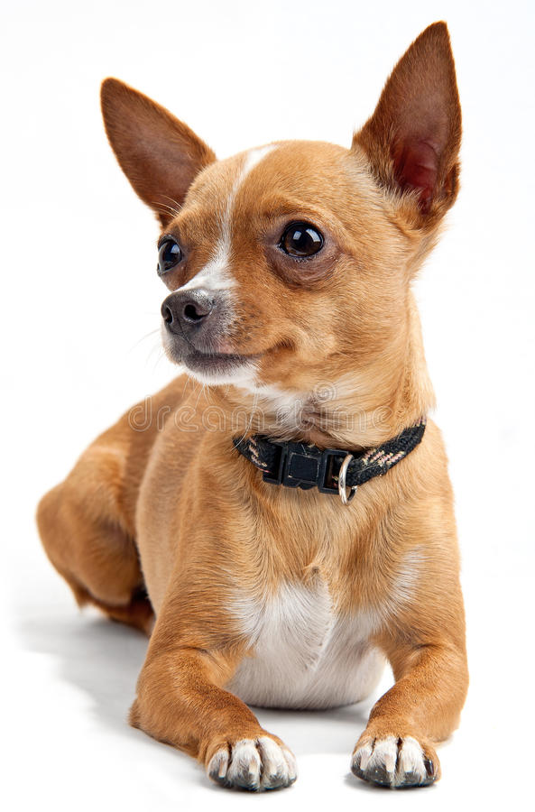 Download Chihuahua On White Background Stock Image - Image: 14857583