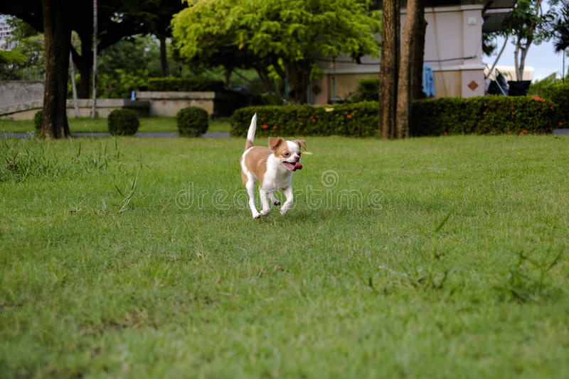 Chihuahua white dogs running on the lawn. royalty free stock photography