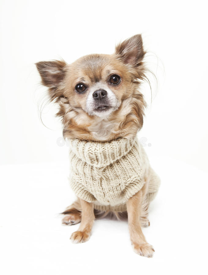 Chihuahua with wool sweater stock photography