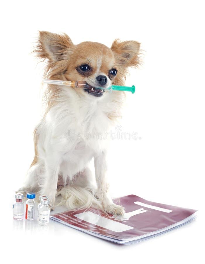 Chihuahua y jeringuilla imágenes de archivo libres de regalías