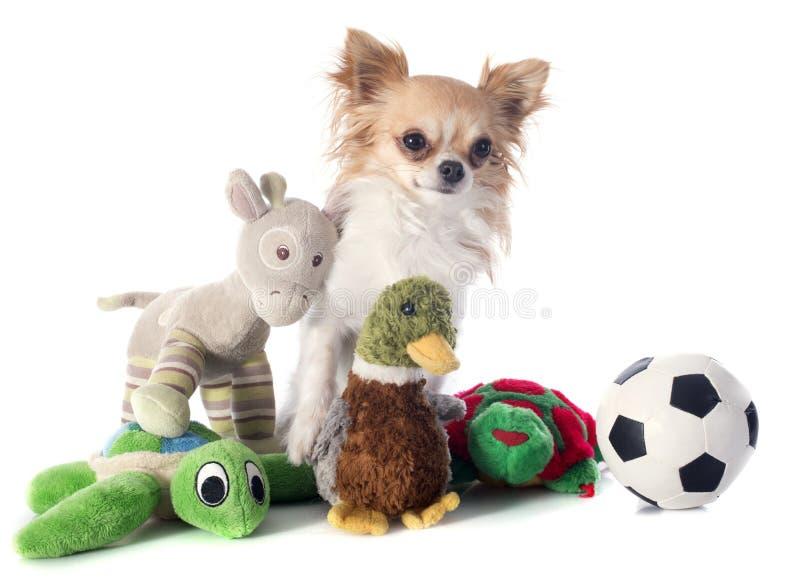 Chihuahua y juguetes fotos de archivo