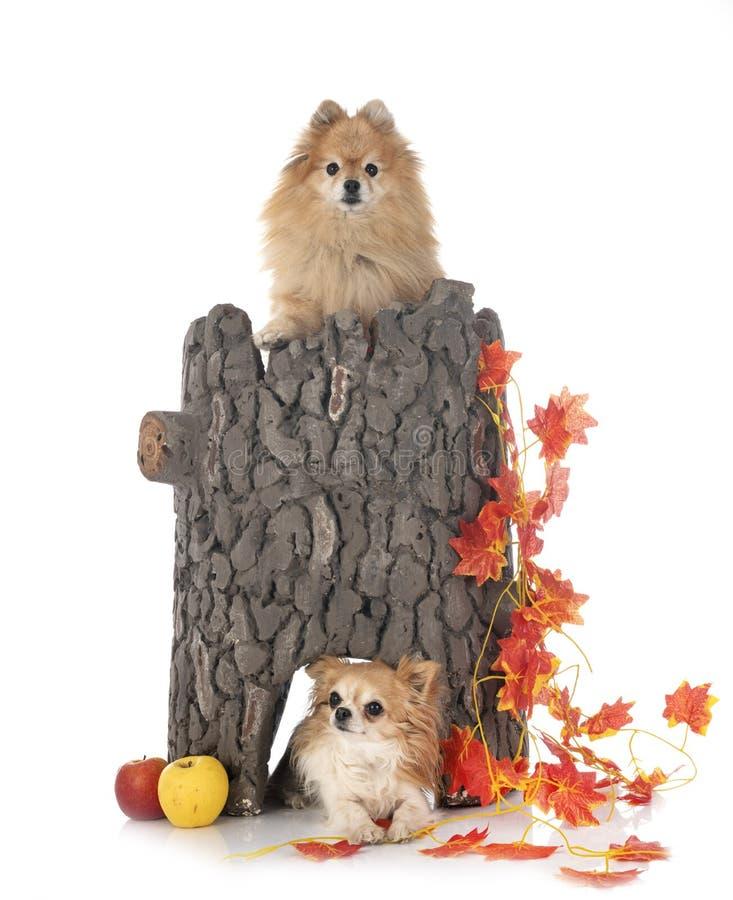 Chihuahua y spitz en estudio fotografía de archivo