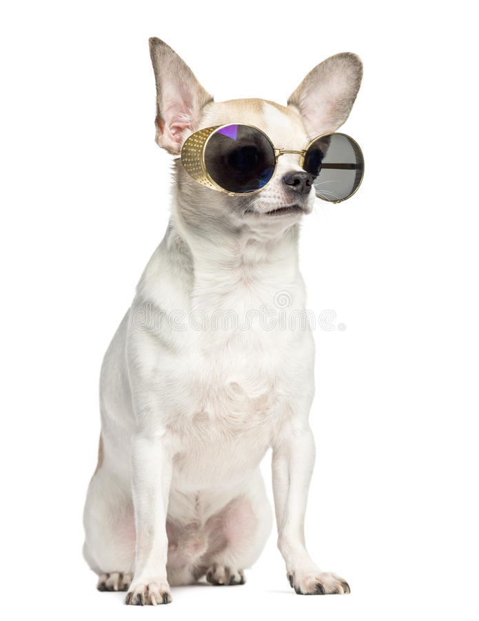 Chihuahua (2 years old) sitting and wearing sunglasses royalty free stock image