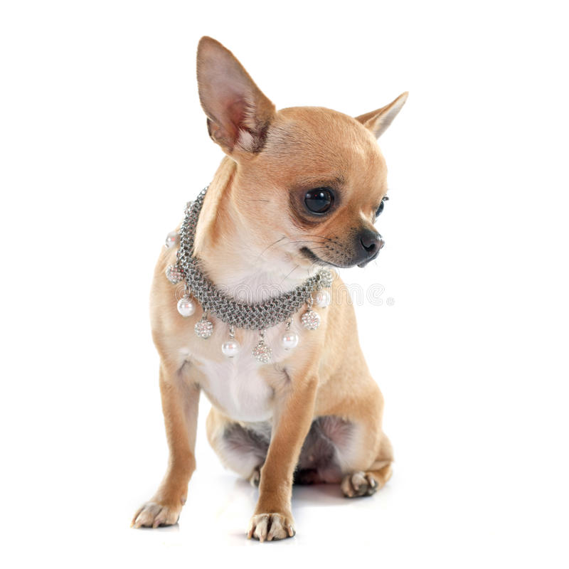 Download Chihuahua stock photo. Image of purebred, background - 53245398