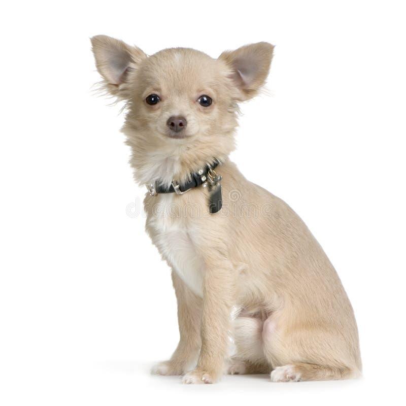 chihuahua złotowłosy długi zdjęcie royalty free