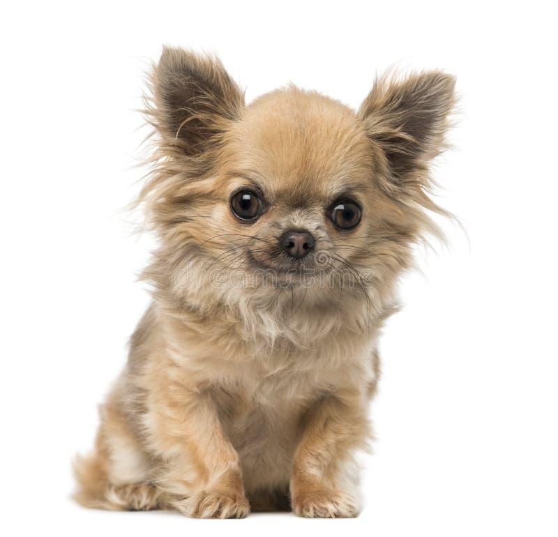 Chihuahua zitting en het kijken stock foto