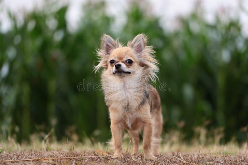 Chihuahuaanseende på torrt gräs arkivbild