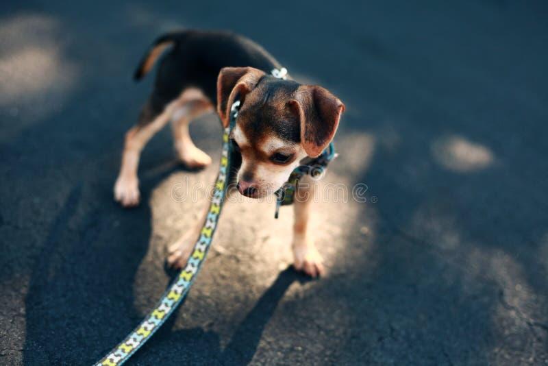 Chihuahuablandningvalp royaltyfria bilder