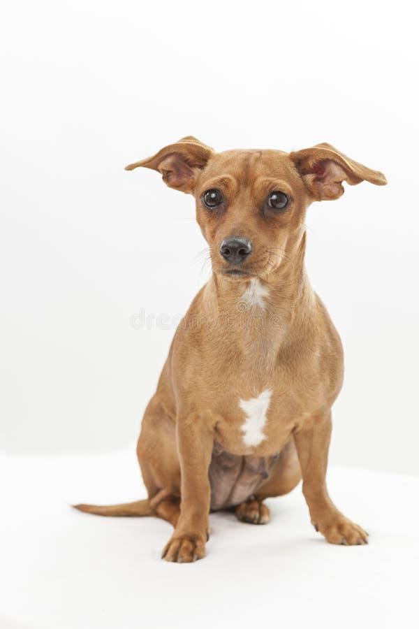 Chihuahuadachshundmischungs-Zuchthund auf weißem Hintergrund stockbild