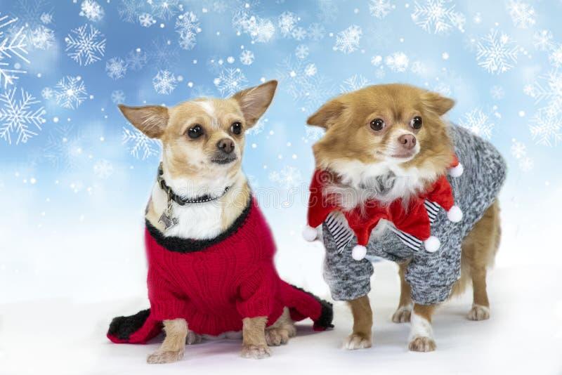 Chihuahuahaltung im Studio lizenzfreies stockfoto