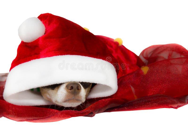 Chihuahuahaltung im Studio für Weihnachten lizenzfreies stockfoto