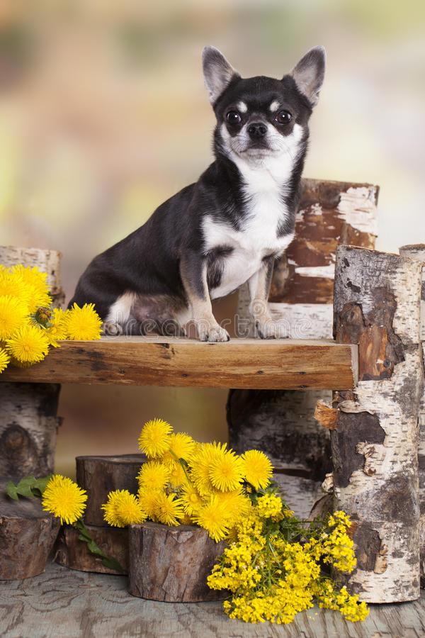 Chihuahuahond royalty-vrije stock fotografie