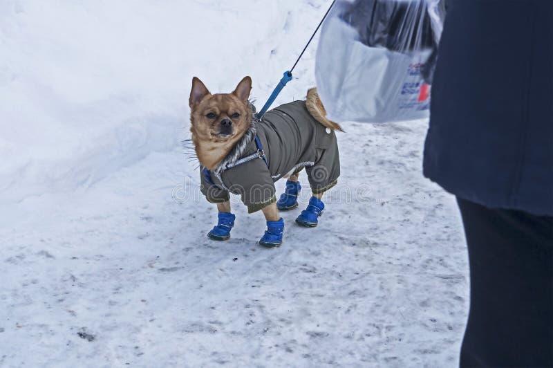 Chihuahuahond in de winterkleren stock fotografie