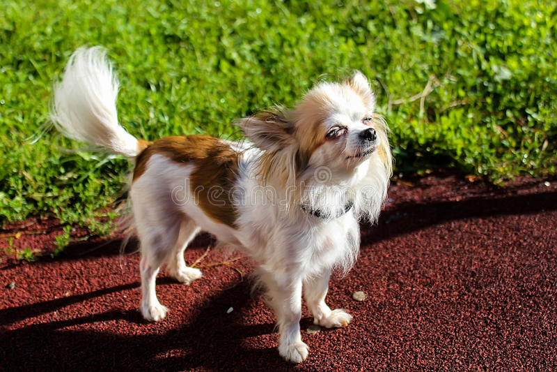 Chihuahuahond die op achtergrond liggen stock foto