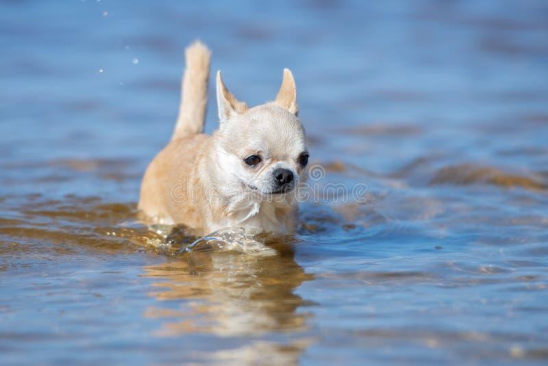 Chihuahuahond die op water lopen stock foto