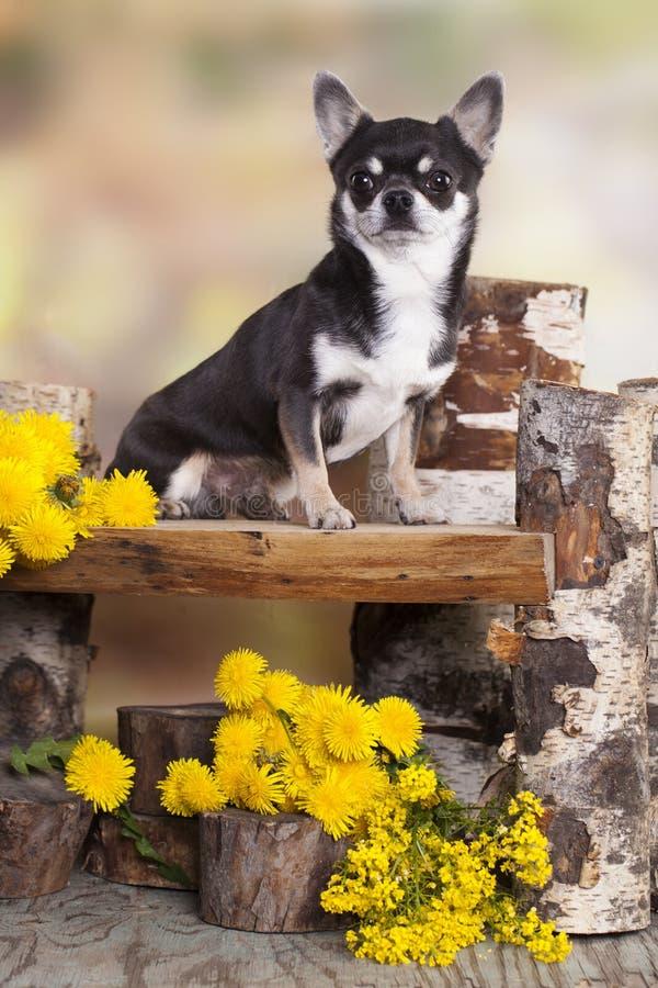 Chihuahuahund royaltyfri fotografi