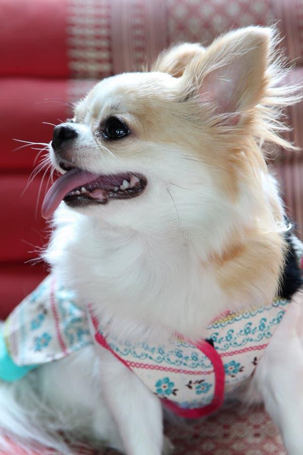 Chihuahuahund arkivfoto