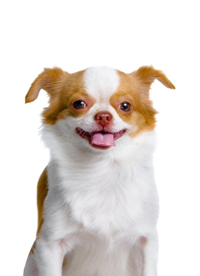 Chihuahuahund, der auf einem weißen Hintergrund lächelt lizenzfreies stockbild