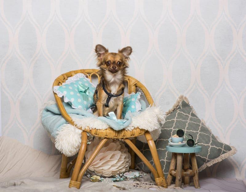 Chihuahuahund, der auf Stuhl im Studio, Porträt sitzt stockfotografie