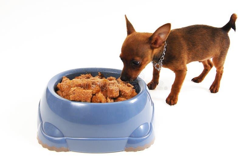 Chihuahuahund, der Nahrung von einer Schüssel isst lizenzfreies stockbild