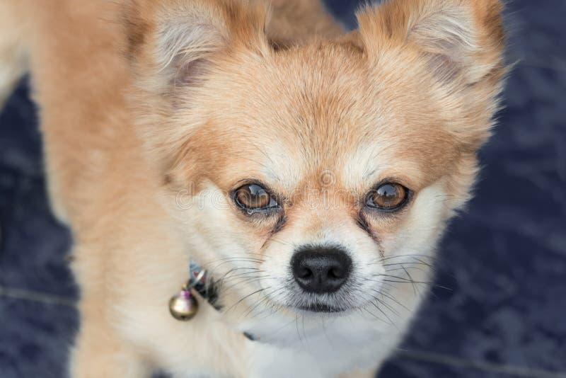 Chihuahuahund med revor royaltyfri foto