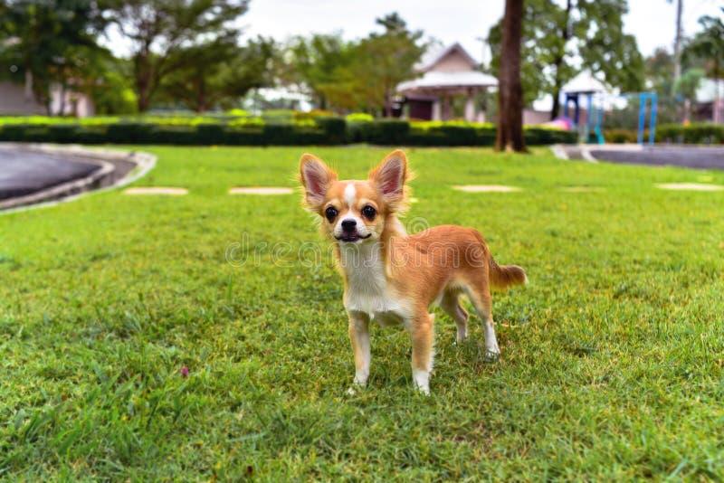 Chihuahuahund på gräset fotografering för bildbyråer
