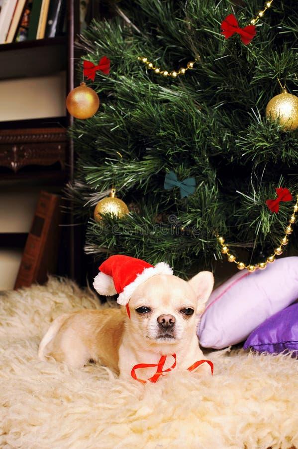 Chihuahuahund sovande under julträdet, kort för nytt år royaltyfria foton