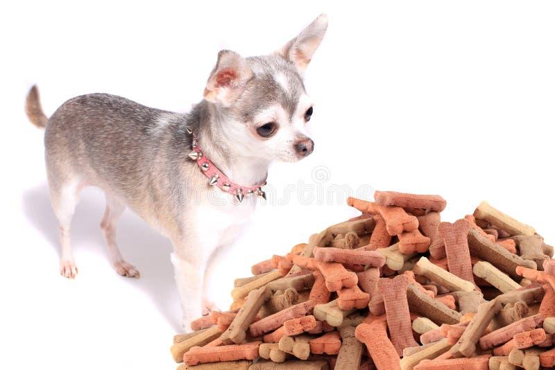 Chihuahuahund und -festlichkeiten stockfotos