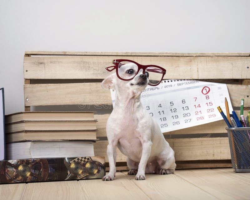 Chihuahuahundavel i exponeringsglas, bland böcker och med en väggkalender royaltyfri fotografi